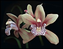 Cymbidium Starbright Flower. A hybrid orchid (color)