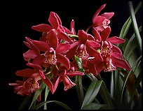 Cymbidium Strathdon 'Chailey Red'. A hybrid orchid ( color)