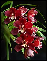 Cymbidium Street Hawk 'Mem. Tom Hank'. A hybrid orchid ( color)