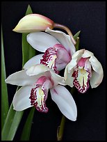 Cymbidium Summer Love 'Petra'. A hybrid orchid (color)
