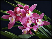Cymbidium Sweet Wine 'Rika'. A hybrid orchid (color)