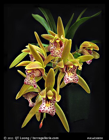 Cymbidium Tiger Moth '!'. A hybrid orchid (color)