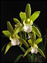 Cymbidium Tiger Tail 'Enzan'. A hybrid orchid (color)