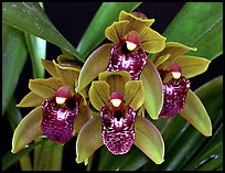 Cymbidium Tiny Tiger. A hybrid orchid (color)