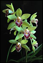 Cymbidium Valentine Love 'Spring Scent'. A hybrid orchid (color)