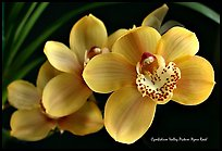 Cymbidium Valley Picture 'Ayers Rock'. A hybrid orchid (color)