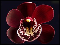 Cymbidium Willunga Regal 'Night Shade' Flower. A hybrid orchid ( color)