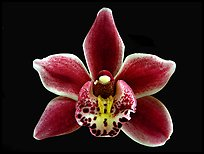 Cymbidium Winter Fire 'Splash'. A hybrid orchid ( color)