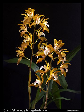 Cymbidium Wood Nymph. A hybrid orchid (color)
