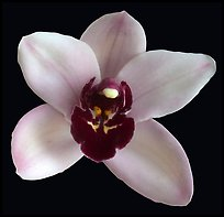 Cymbidium Yai 'Monica' Flower. A hybrid orchid ( color)