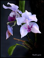 Acacallis cyanea. A species orchid ( color)