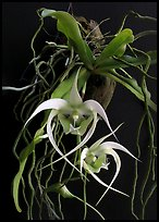 Aeranthes henrici. A species orchid (color)
