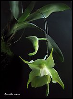 Aeranthes ramosa. A species orchid ( color)