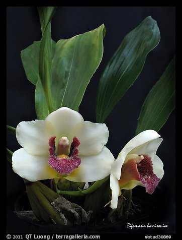 Bifrenaria harrisoniae. A species orchid (color)