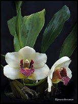 Bifrenaria harrisoniae. A species orchid ( color)