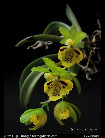 Chytroglossa marileoniae. A species orchid (color)