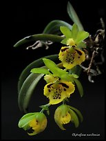 Chytroglossa marileoniae. A species orchid ( color)
