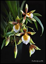 Cischweinfia pusilla-p. A species orchid ( color)