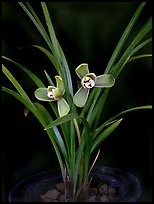 Cymbidium goeringii. A species orchid ( color)