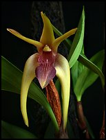 Dendrobium amplum. A species orchid (color)