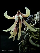 Dockrillia cucumerina. A species orchid ( color)