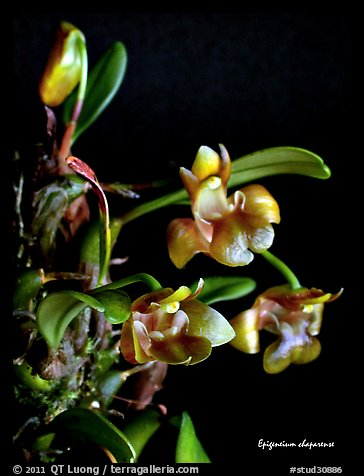 Epigeneium chaparense. A species orchid (color)