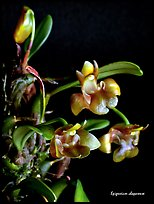 Epigeneium chaparense. A species orchid ( color)