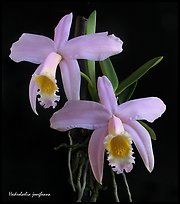 Hadrolaelia jongheana. A species orchid ( color)