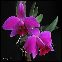 Hadrolaelia pumila. A species orchid ( color)