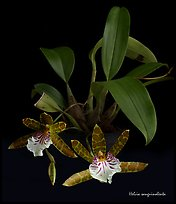 Helcia sanguinolenta. A species orchid ( color)