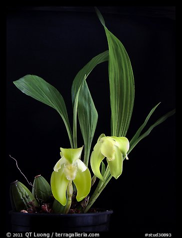 Ida ciliata. A species orchid