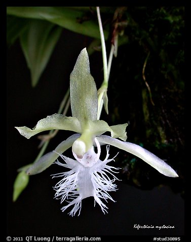 Kefersteinia mystacina flower. A species orchid (color)