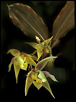 Kegeliella astropillosa. A species orchid ( color)