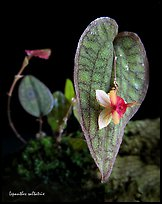 Lepanthes saltatrix. A species orchid ( color)