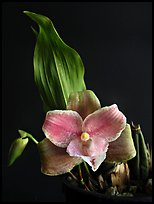 Lycaste brevispatha. A species orchid ( color)