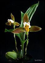 Lycaste debbie. A species orchid ( color)