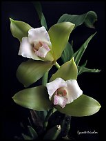 Lycaste tricolor plant. A species orchid ( color)