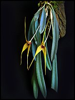 Masdevallia caesae. A species orchid ( color)
