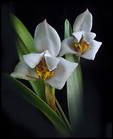 Maxillaria lehmannii. A species orchid (color)