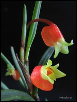 Mediocalcar sp. New Guinea. A species orchid ( color)