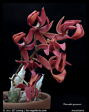 Mormodes paraensis. A species orchid (color)