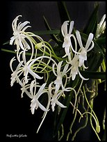Neofinettia falcata. A species orchid (color)