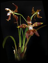 Odontoglossum armatum. A species orchid (color)
