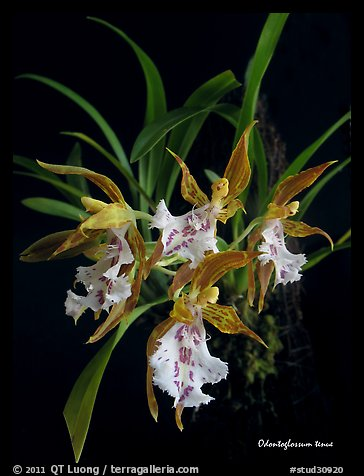 Odontoglossum tenue. A species orchid (color)
