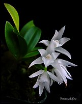 Panisea albiflora. A species orchid ( color)