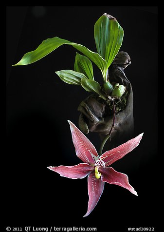 Paphinia cristata. A species orchid (color)
