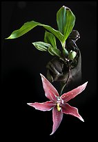 Paphinia cristata. A species orchid ( color)