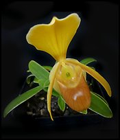 Paphiopedilum helenae. A species orchid (color)