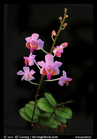 Phalaenopsis pulcherrima. A species orchid (color)