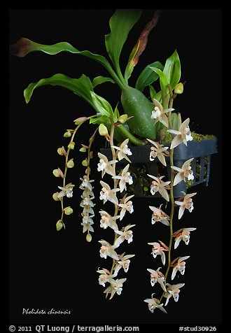 Pholidota chinensis. A species orchid (color)